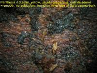 Gelber Holz-Pustelpilz