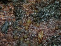 Nectria-spec-winziggelb-111223-02xs