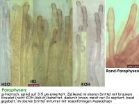 Encoelia-fascicularis-120310-MCol-03