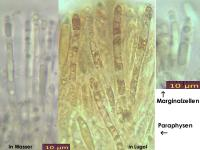 Hymenoscyphus-imberbis-cf-120609-BM-U1-MCol-02