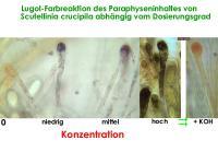 Info-Scutellinia-Paraphysen+IKI-02