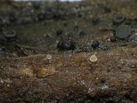Fleischfarbene Unguiculella