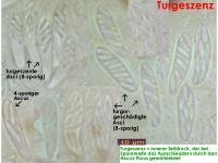 Turgeszenz-Cistella-MCol-01