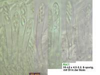 Calycina-discreta-cf-121127-MCol-02