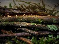 Hymenoscyphus-salicellus-121105-03xs