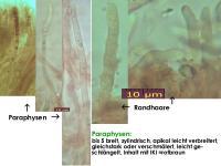 Hymenoscyphus-vitellinus-(Rubus)-121122-MCol-03