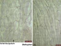 Hymenoscyphus-vitellinus-(Rubus)-121122-MCol-04