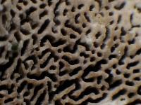 Cerrena-unicolor-100228-03xs