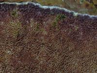 Trichaptum-abietinum-120303-03xs