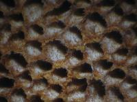 Phellinus-contiguus-121226-EH-04xsJ