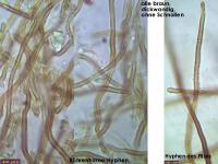 Phellinus-contiguus-121226-EH-MCol-02JJ