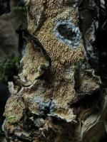 Hyphodontia-quercina-090116-02xsJ