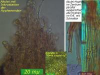 Hyphodontia-quercina-090116-MCol-02J