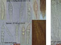 Cryptodiscus-rhopaloides-110123-MCol-01