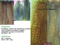 Cryptodiscus-rhopaloides-110123-MCol-02