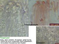 Cryptodiscus-rhopaloides-110123-MCol-03