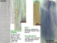 Karstenia-macer-120303-MCol-01