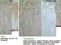 Cryptodiscus-rhopaloides-130228-ZJ-MCol-02JJ