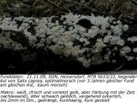 Gilbendes Weiden-Weißhaarbecherchen