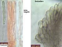 Mollisia-cinerea-130401-MCol-02JJ