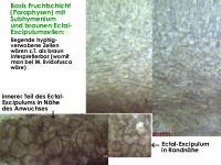 Mollisia-cinerea-130401-MCol-03JJ