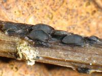 Pyrenopeziza-petiolaris-130520-02xsJ