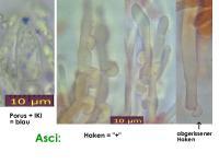 Mollisia-pyrenopezizoides-cf-(ellipsoidsporig)-130423-MCol-02JJ