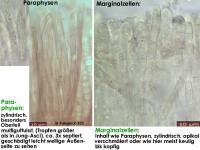 Hymenoscyphus-salicellus-130917-MCol-04J