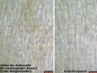 Hymenoscyphus-salicellus-130917-MCol-05J