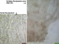 Hymenoscyphus-(cf-caudatus-lignicol-H+)-131118-MCol-04JJ