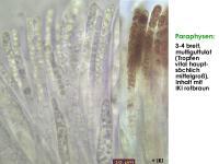 Hymenoscyphus-suspectus-131113-MCol-03JJ