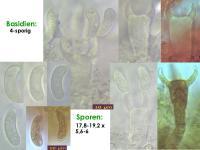 Vuilleminia-comedens-130129-MCol-01JJ