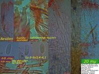 Stereum-rugosum-090114-MCol-01