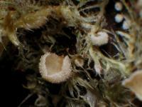 Chromoscyphella-muscicola-131112-01xsJ