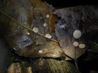 Sklerotien-Typhula-cf-Prunus-121124-01xsJ