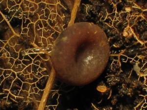 Sklerotien-Typhula-cf-Prunus-121222-01xsJ