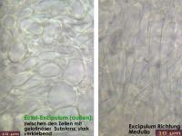 Bisporella-confluens-131215-WS-MCol-04JJ