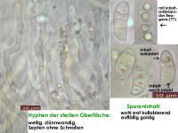 Dacrymyces-stillatus-140110(24)-MCol-02JJ