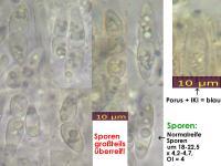 Calycina-lactea-131227-ThH-MCol-01JJ