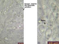 Calycina-lactea-131227-ThH-MCol-02JJ