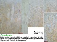 Arachnopeziza-trabinelloides-140215-Annam-MCol-03JJ