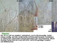 Arachnopeziza-trabinelloides-140215-Annam-MCol-05JJ