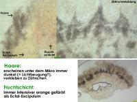 Arachnopeziza-trabinelloides-140215-Annam-MCol-06-1JJ