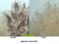 Arachnopeziza-trabinelloides-140215-Annam-MCol-06-2JJ
