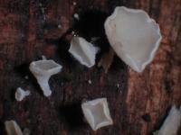 Unverschämtes Weißhaarbecherchen