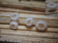Rötendes Gräser-Weißhaarbecherchen