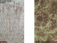 Microencoelia-mollisioides-131229-TR-MCol-04J