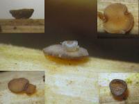 Microencoelia-mollisioides-140711-03xs-ColJJ