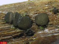 Vibrissea-ähnlicher Dennisiodiscus