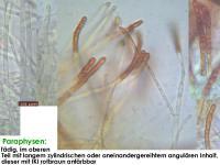 Hymenoscyphus-monticola-141013-MM-MCol-03JJ